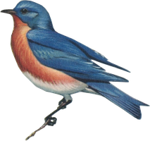 Eastern bluebird (stock) by linux-rules