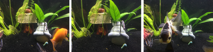 My Tankmate Totoro by Essansee