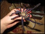 Cyriopagopus sp. Blue by RachelWolf