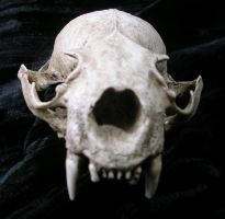 River Otter skull replica by askoi
