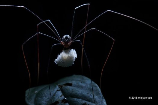 Harvestman eating fungi by melvynyeo