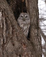 Barred Owl by cove314