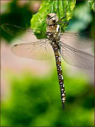 Dragonfly by Kristalsuiker