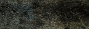 Black Coyote Fur by pyroxene88