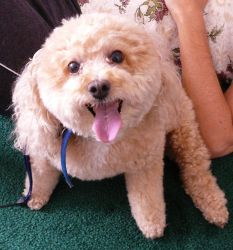 Mindy the Fat Poodle of Cute by Enchantedgal-Stock