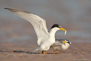 Least Tern by juddpatterson