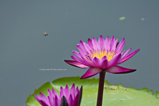 Lotus and Insect by tawunap159