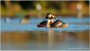 Pair Of Great Crested Grebe's by andy-j-s