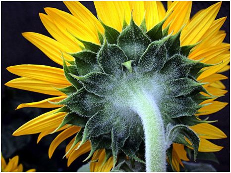 SUNFLOWER FROM ANOTHER ANGLE by THOM-B-FOTO