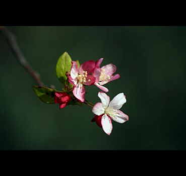 Crab Apple Blossoms by Vividlight