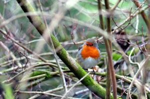 Little Red Robin by Jupis
