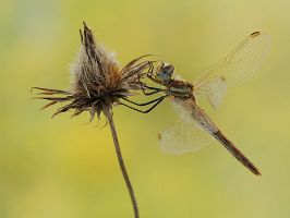 Dragonfly by dralik
