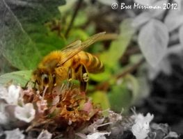 European Honey Bee Macro II by BreeSpawn
