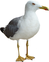 seagull by thinkGIMP