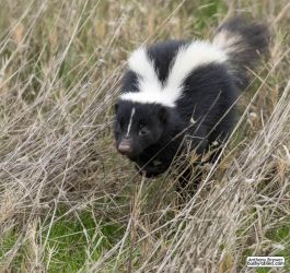Living the skunk life by jaffa-tamarin