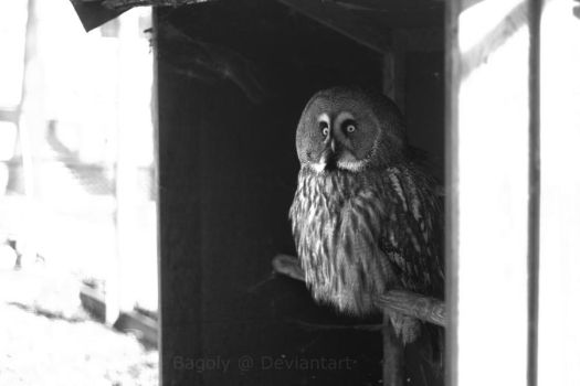 Great Grey Owl by Bagoly