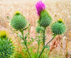 thistle by Mittelfranke