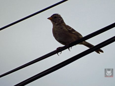 Sparrow On A Wire by wolfwings1
