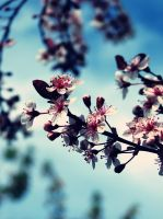 Blossoms by evelynrosalia