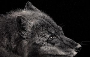 Wolf by Room169