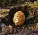 Coprinellus by Oniroid