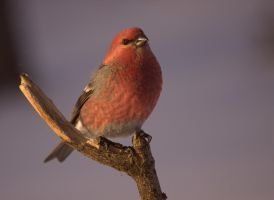 Pine Grosbeak (male) by dove-51
