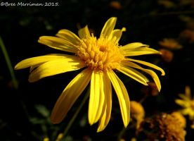 Yellow Daisy Flower by BreeSpawn