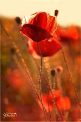 Poppies dancing in the wind by AStoKo