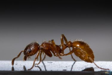 Ant by Puttee