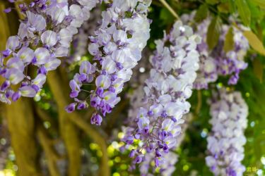 Wisteria by THEAESTHETICWEEB