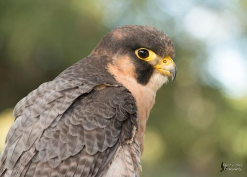 Barbary Falcon by EdgedFeather