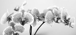 Winter Orchid 1 by Nariane