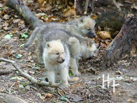 Wolf Puppies 03 by charliechappy