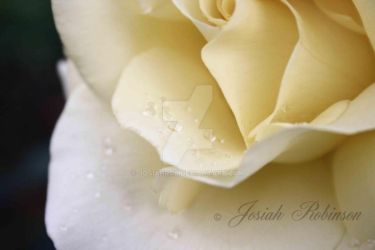 Rose with water drops by Josiahrob