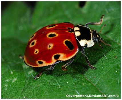 Eyed Ladybird, Edited by oliverporter3