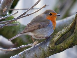 European Robin by nordfold