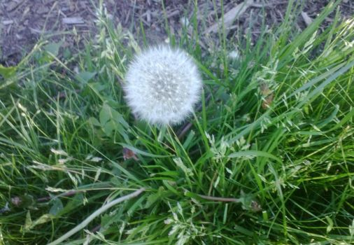 Dandelion Clock with Grass by Hrodulf