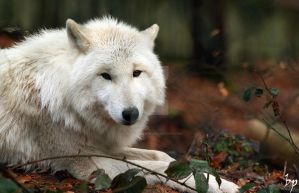 White Wolf I by OK-Photography