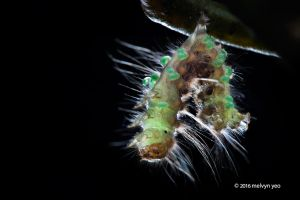 Caterpillar with Eulophidae parasitoid wasp larva by melvynyeo