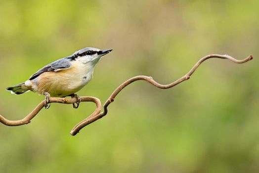 Nuthatch by MissFlykt