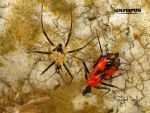 Assassin Bug by jitspics