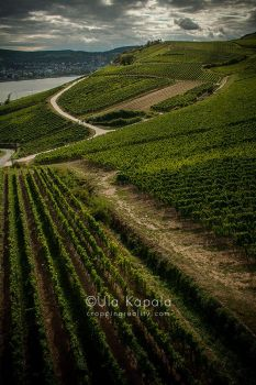 Vineyards by ukapala