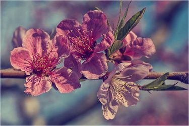 apple blossom by fangedfem