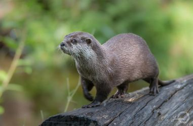 Asian Small-Clawed Otter - Aonyx Cinerea by Yuukon