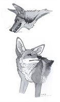 coyotes in ink by Canis-ferox