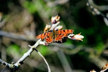 Comma Butterfly by Ashstorm