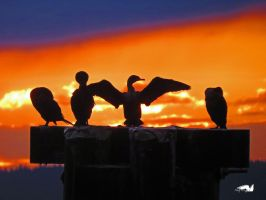 Four Shadow Cormorants by wolfwings1