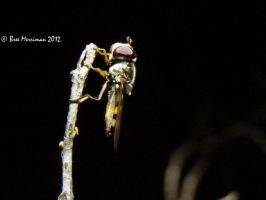 Root Maggot Fly by BreeSpawn