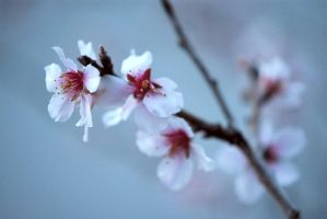 Almond Blossoms No. 3 by OfTheDunes