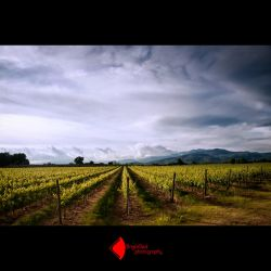 Grape Fields by BrightRedFox